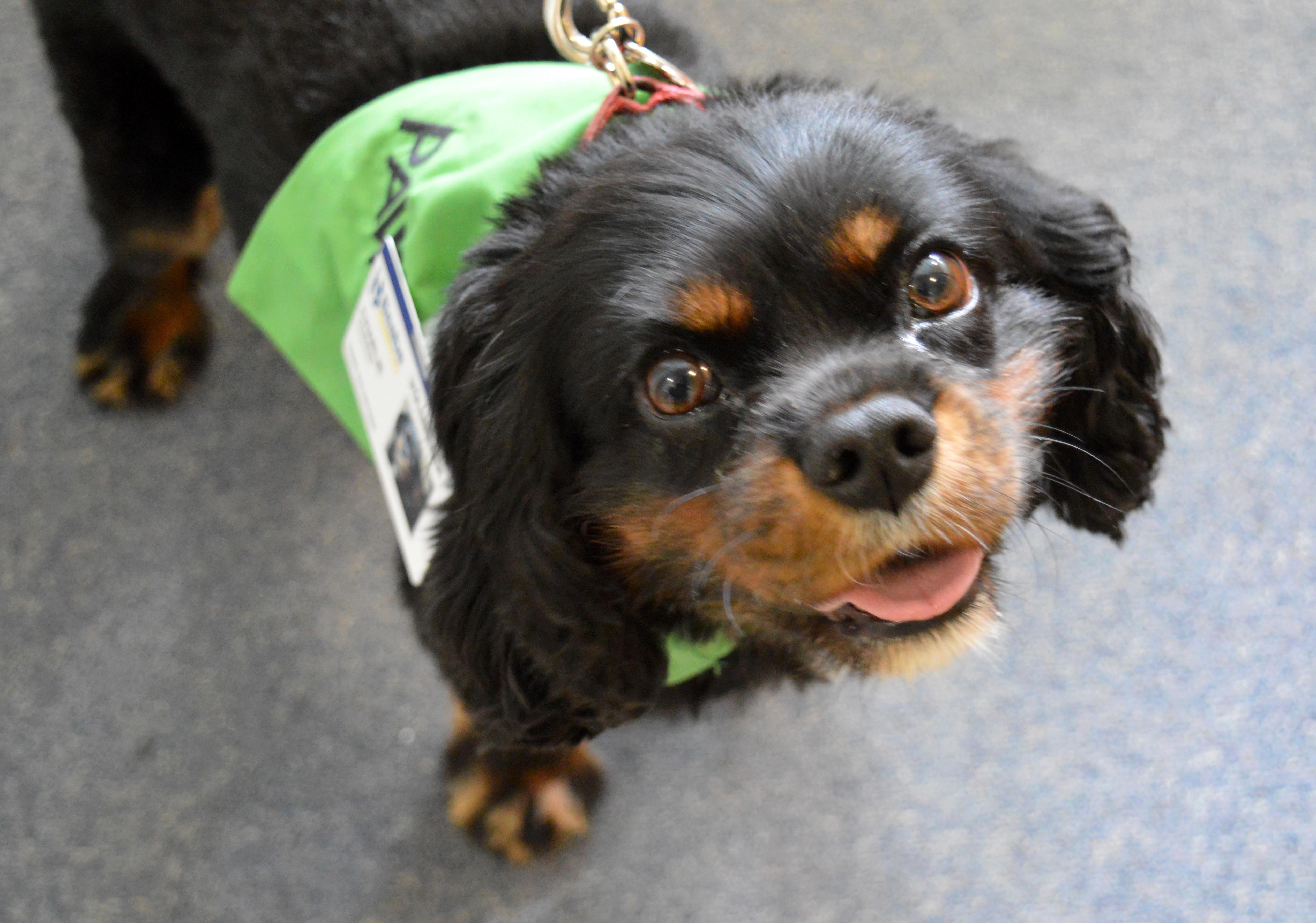 Charlie, a pet therapy dog at Beebe.